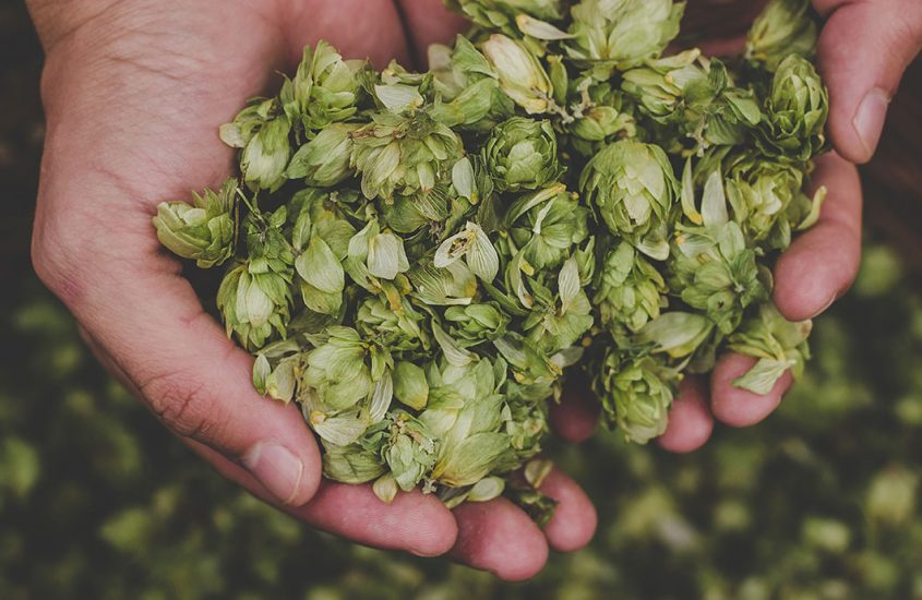 Gruit beer: how this antique brewing recipe is different from that of hoppy beer