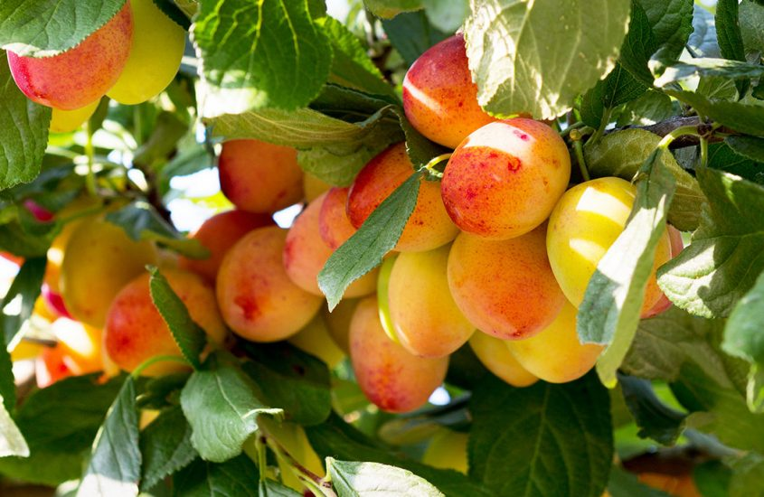 This is the fruit ripening process