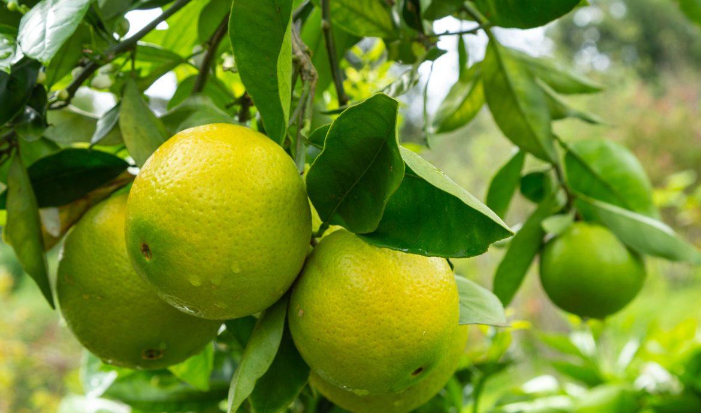 Fruit ripening